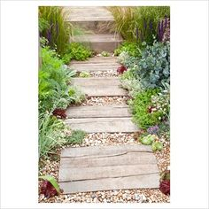 Path through coastal garden including planting of Stachys byzantina, Thymus and Sempervivum