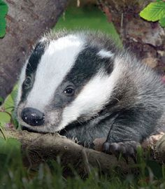 Badgers! #cute #animals
