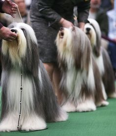 Bearded Collies line up to compete at the 137th Westminster Kennel Club dog show.