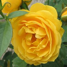 The tools below allow you to search by a plants common name or botanical name, a plants attributes or by plant category. Flower Colors, Colorful Flowers, Floribunda Roses, Rose Wall, Zone 5, Sprays, Bud, Landscaping, Fragrance