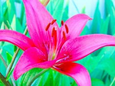 Pink Lily Flower (20 Seeds)