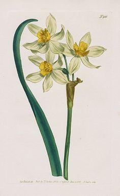 Cream-Coloured Narcissus of the Levant – William Curtis Botanical Magazine Antique Prints 1787-1817