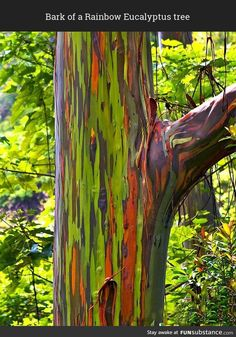 The world's most colorful forest of Rainbow Eucalyptus trees is on the Philippines island of Mindanao. And see the world's most expensive bonsai tree. Trees And Shrubs, Trees To Plant, Flowering Trees, Bonsai, Rainbow Eucalyptus Tree, Tree Seedlings, Trees Online, Fast Growing Trees, Still Life