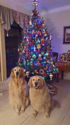 """Copper and Gracie Christmas 2016.  Posing in front of a """"Lovely British Decorated Christmas Tree""""."""