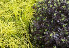 Carex-elata-Aurea-e-Pittosporum-tenuifoliuum-Purpureum_main