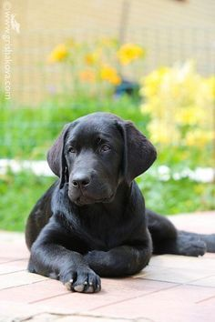 Mind Blowing Facts About Labrador Retrievers And Ideas. Amazing Facts About Labrador Retrievers And Ideas. Black Lab Puppies, Dogs And Puppies, Doggies, Black Puppy, Perro Labrador Retriever, Labrador Puppies, Retriever Puppies, Perros Chow Chow, Labrador Puppy Training