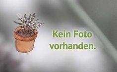 Kräuter - www.kraeuter-hasbach.de - Lemongrass