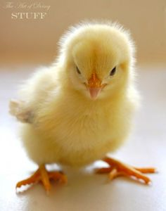 pictures of baby chicks - - Yahoo Image Search Results Cute Chickens, Urban Chickens, Baby Chickens, Chickens And Roosters, Cute Baby Animals, Animals And Pets, Funny Animals, Baby Yellow, Mellow Yellow