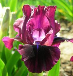 SDB Iris germanica \'Red Velvet Elf\' (Filardi, 2010)