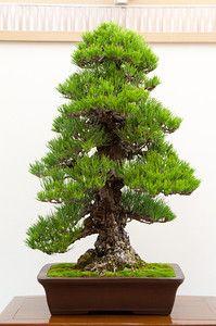 Cork bark black pine