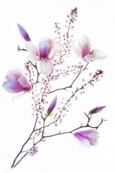 Magnolia and Cherry Blossoms by PadmasWorld. @go4fotos