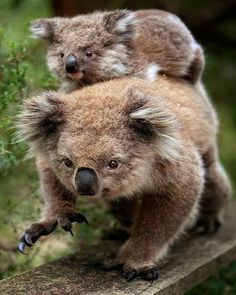 Koala - lauf Mami, lauf schneller, wir schaffen's über den Steg. Da drüben sind unsere geliebten Eukalyptusbäume! :o))