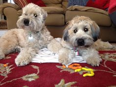My favorite Wheatens. Murphy and Reilly!