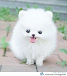 white teacup Pomeranian puppy - I bet the cats would get along with this thing just fine.
