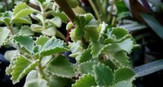 How to grow Oregano, Growing Oregano, Care and Harvest. Oregano is a perennial herb containing pinkish-white or white flowers and used in delicious dishes. Growing Bell Peppers, Growing Onions, Growing Hibiscus, Hibiscus Plant, Perennial Vegetables, Container Gardening Vegetables, Flowers Perennials, Planting Flowers, Okra