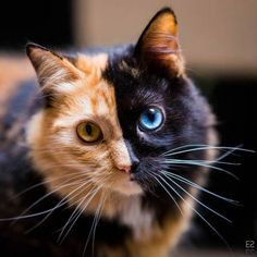 This beautiful two-faced cat is taking the internet by storm Cute Cats And Kittens, I Love Cats, Crazy Cats, Cool Cats, Kittens Cutest, Ragdoll Kittens, Funny Kittens, Bengal Cats, Funny Kitties