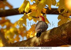 Male Red Bellied Woodpecker sitting in a tree of yellow autumn leaves.