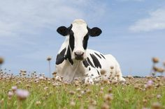 A herd of cows poops A LOT. Benefits Of Going Vegan, Reasons To Go Vegan, Plant Based Diet, Cows, Health Benefits, Animals, Animales, Animaux, Plant Based Meals