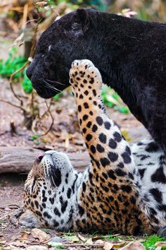 Napo the Jaguar playing with Dad
