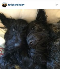 Scottish Terriers of Instagram via ScottieMom.com.