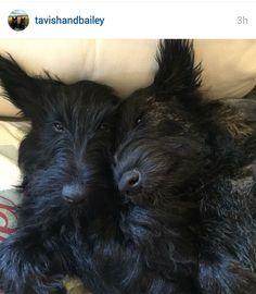 Scottish Terriers of Instagram via ScottieMom.com.