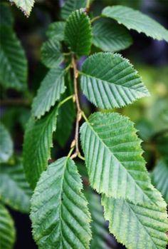 Hornbeam Hedge Carpinus Betulus