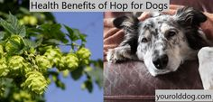 Dog Yeast Infection - 4 Steps to Natural Elimination Yeast In Dogs, Dog Passed Away, Urinary Incontinence, Physical Pain, Separation Anxiety, How To Make Beer, Old Dogs, Four Legged