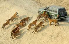 Sheng Li / Reuters-  Siberian tigers approach a keeper's car as they wait to be fed at the Siberian Tiger Forest Park in Harbin, China on Dec. 27. More than 800 Siberian tigers are currently living in the park, which is also a breeding center for this endangered species.