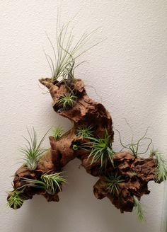 6 Basic methods to maintain your air vegetation to life - Unique air plants vic. - 6 Basic methods to maintain your air vegetation to life – Unique air plants victoria bc exclusiv - Air Plant Terrarium, Succulent Terrarium, Planting Succulents, Succulent Display, Terrarium Ideas, Garden Terrarium, Driftwood Planters, Driftwood Crafts, Hanging Planters