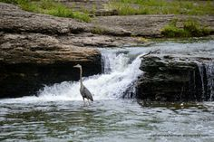 A Great Blue Heron waits for fish at the Watts Mill falls on Indian Creek in Kansas City, Missouri. The falls are in an idyllic park, where many birds find refuge from the busy city that surrounds it. The park was a campsite for people heading out on the Oregon, California and Santa Fe Trails.