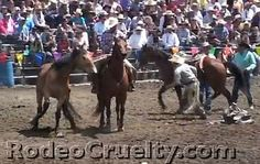 May-19-2013 16:51      Activist Violently Arrested For Filming At Oregon Rodeo    Salem-News.com  SHARK'S video of horse tripping at the 2012 Big Loop Rodeo inspired Sen. Mark Hass, D-Beaverton to introduce a horse-tripping ban.