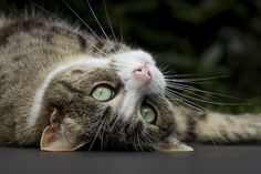 A longing look ~ beautiful kitty