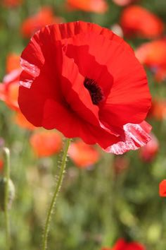 Poppies are a beautiful red. My Flower, Flower Power, Wild Flowers, Beautiful Flowers, Poppy Images, Poppies Tattoo, M Anime, Red Poppies, Champs