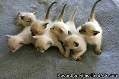 Applehead Siamese Kittens