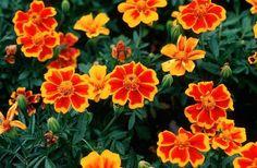 Love Flowers, Beautiful Flowers, Marigold, Daisy, Shapes, Plants, Gardens, Colors, Margarita Flower