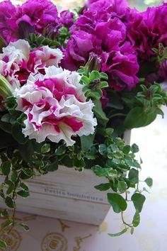 Double-Petunias 八重咲きのペチュニア  非常に珍しい八重咲きのペチュニア。  *・*・*・*・* ペチュニアの花言葉は「あな...