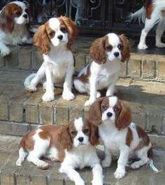 Cavalier King Charles wonderful pets
