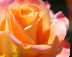 Yellow with Pink Rose Close Up Fine Art 8 X 10 by LifeTravelPhotos