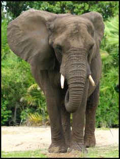 """Elephant by ~x222943    elephant poaching  """"the only answeristo end demand for ivory especially in Asia and to ensure conservation officials in range states were provided with skills and the equipment necessary to counter professional gangs of poachers……………….."""""""