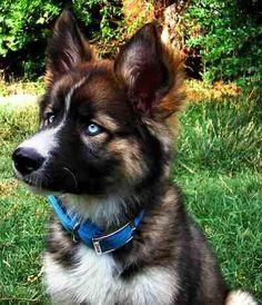 German shepherd husky mix. I LOVE the husky blue eyes.