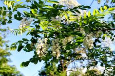Recept je založený na tom, že jeho jednotlivé zložky obsahujú látky, ktoré pomáhajú zvyšovať hustotu kostí tým, že stimulujú ich mineralizáciu. Ingrediencie: 0,5 kg medu zďateliny (alebo iný tekutý med, napríklad agátový alebo kvetový) 3 polievkové lyžice sezamových semienok 2 polievkové lyžice hrozienok 3 polievkové Med
