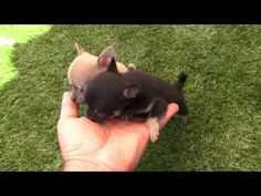 Sugar- Beauiful Teacup size Chihuahua Baby Girl - YouTube