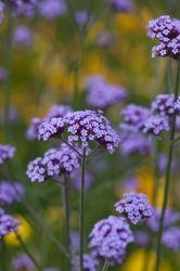 Kjempeverbena Garden Living, Outside Living, Verbena, Flower Power, Green, Outdoors, Joy, Gardening, Flowers