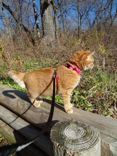 Walking in the Woods  #cat #kitty #kitten #orangetabby #domesticshorthair #walkingmycat #catharness #catleash #hiking #nature #forest #woods