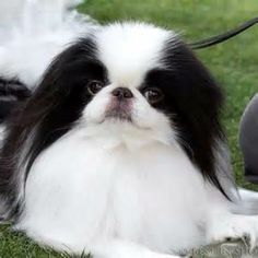 ♥D♥ 370  JAPANESE CHIN