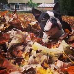 Fall Fido Fun ! #cute #dog in #nature during the #fall season plays in the leaves! #woof!