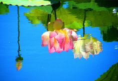 Reflected Lotus Beauty ...