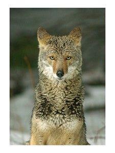 Print: Coyote