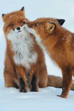 Post with 2030 votes and 88992 views. Tagged with cute, animals, beautiful, red fox; Cute Creatures, Beautiful Creatures, Animals Beautiful, Romantic Animals, Beautiful Beautiful, Beautiful Pictures, Nature Animals, Animals And Pets, Wild Animals