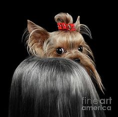 Sergey Taran -  Closeup Yorkshire Terrier Dog, long groomed Hair Pity Looking back